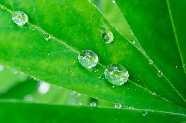 Krople na zielonym liściu. odbicie w kropli. fotografia makro. duże krople rosy. krople deszczu na zielonych liściach. krople wody.