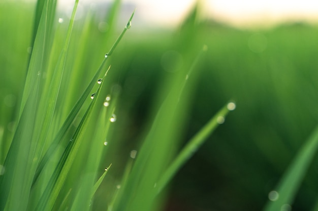 Krople porannej rosy na młodych pędach traw