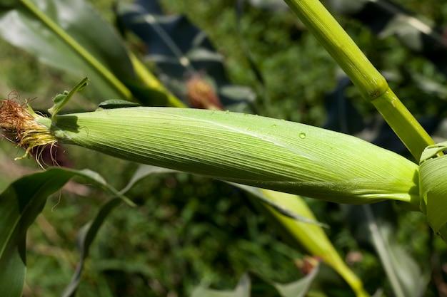 Krople rosy i kondensatu na zielonych liściach kolb kukurydzy, zbliżenie