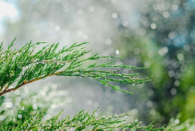 Krople rosy na jałowca. zielony jałowiec rozgałęzia się w letnim słońcu.