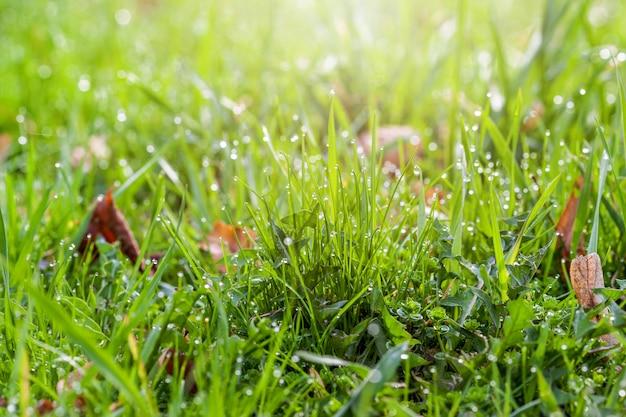 Krople rosy na jasnozielonej trawie ze światłem słonecznym na środku
