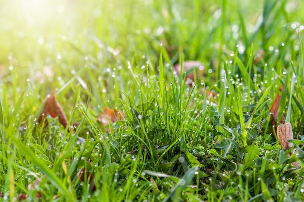 Krople rosy na jasnozielonej trawie ze światłem słonecznym w lewym rogu