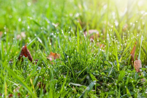 Krople rosy na jasnozielonej trawie ze światłem słonecznym w prawym rogu