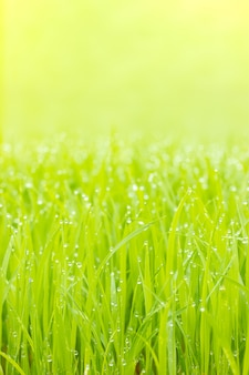 Krople rosy na liściach sadzonek ryżu i rano złote światło słoneczne. zbliżenie i kopia przestrzeń na górze. koncepcja gospodarstwa ekologicznego.