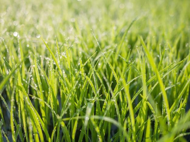 Krople rosy na liściach zielonej trawy rano