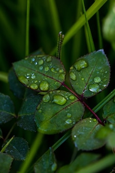 Krople rosy na liściach