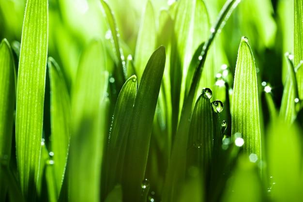 Krople rosy na trawie. makro .. pulpit. selektywne ustawianie ostrości. poziomy.