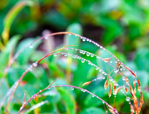 Krople rosy na trawie. selektywna ostrość