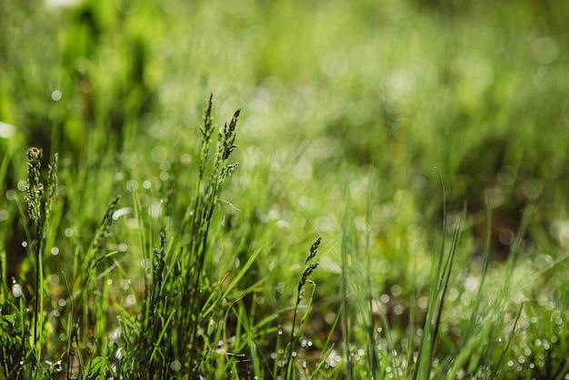 Krople rosy na zielonej trawie w słoneczny poranek. naturalne tekstury kwiatowy tło. selektywne ustawianie ostrości, płytka głębia ostrości. piękny naturalny bokeh. czystość i świeżość natury