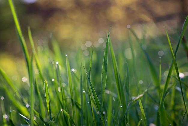 Krople rosy na zielonej trawie w słoneczny poranek. naturalne tekstury kwiatowy tło. selektywne ustawianie ostrości, płytka głębia ostrości. piękny naturalny bokeh.
