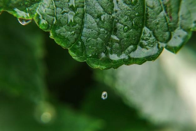 Krople wody deszczowej na zielonych liściach winogron w winnicy. inspirujące naturalne kwiatowy wiosną lub latem rolnictwo ogród tło.