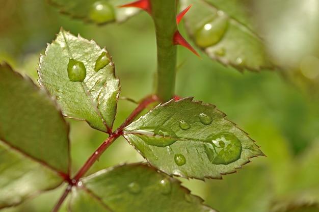 Krople wody na liściach krzewu róży