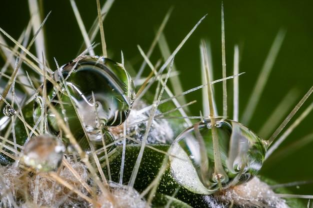 Krople wody na naturalny kaktus.