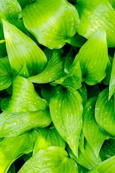 Krople wody na zielonym liściu. natura zielone liście z tłem kropla deszczu. zielony liść hosty w słońcu. pojęcie ekologii. selektywne skupienie. skopiuj miejsce