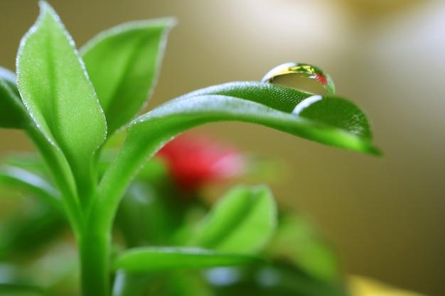 Krople wody na żywych zielonych liściach roślin baby sun rose