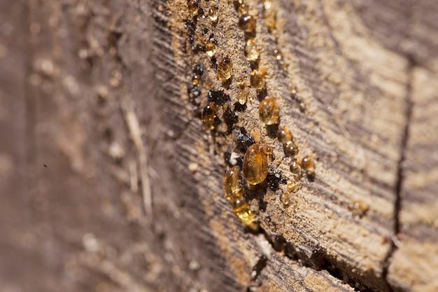 Krople żywicy na drewnie iglastym w słońcu, zdjęcie makro