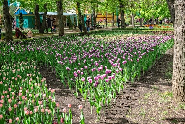 Kropywnyckij, ukraina 09.05.2021. aleje tulipanów w arboretum kropywnycki w słoneczny wiosenny dzień