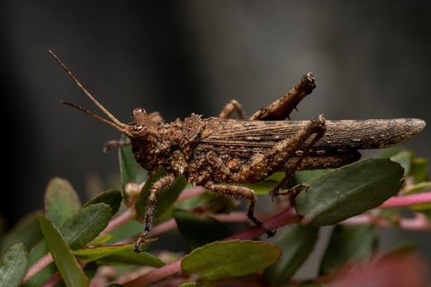 Krótki rogaty konik polny z rodziny ommexechidae