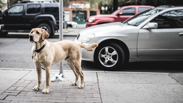 Krótkowłosy brązowy pies stojący obok szarego samochodu zaparkowanego na drodze