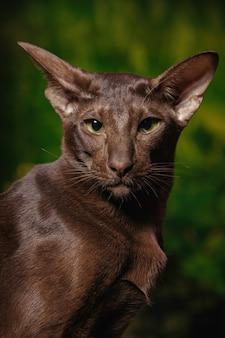 Krótkowłosy oriental havana cat o czekoladowym umaszczeniu.