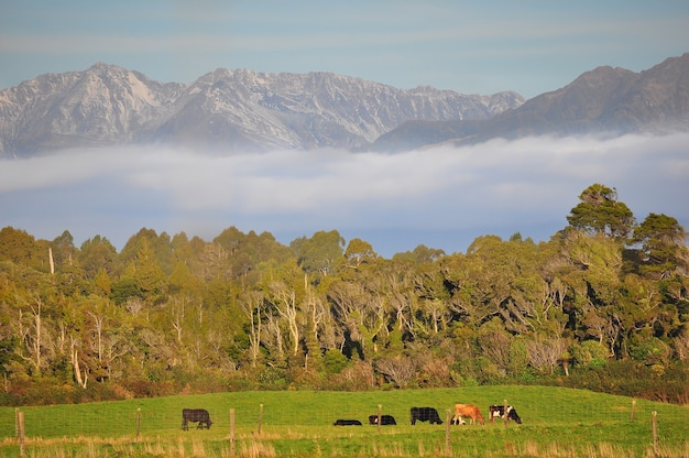 Krowa bydła w górach nowej zelandii