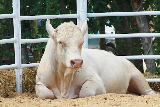 Krowa charolais