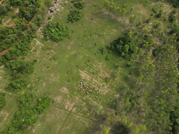 Krowa człowieka wypuszczającego krowę do jedzenia trawy w lesie strzał z dronów w tajlandii