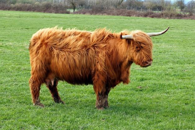 Krowa długowłosa