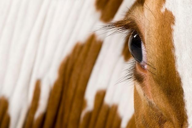 Krowa holstein, patrząc, z bliska na oko