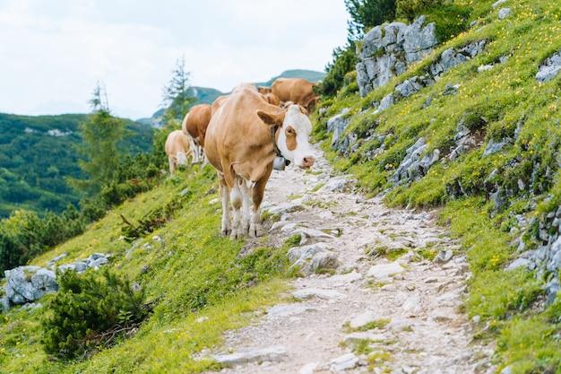 Krowa i cielę spędzają letnie miesiące na alpejskiej łące w alpach. wiele krów na pastwisku. austriackie krowy na zielonych wzgórzach w alpach. alpejski krajobraz w pochmurnym słonecznym dniu. krowa stoi na drodze przez alpy.
