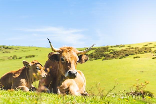 Krowa i jej cielę dziecko siedzi na trawie.