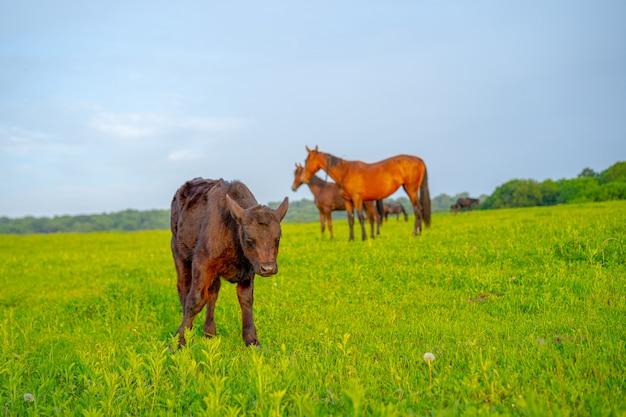 Krowa i konie na łące