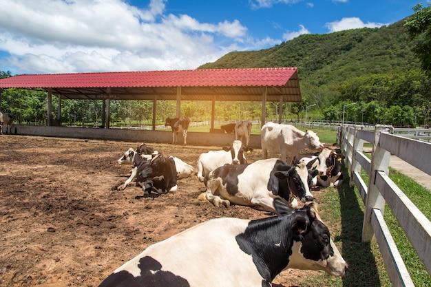Krowa i łydka w gospodarstwie rolnym na natury tle