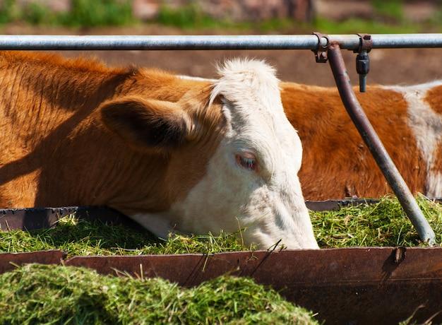 Krowa jedząca siano