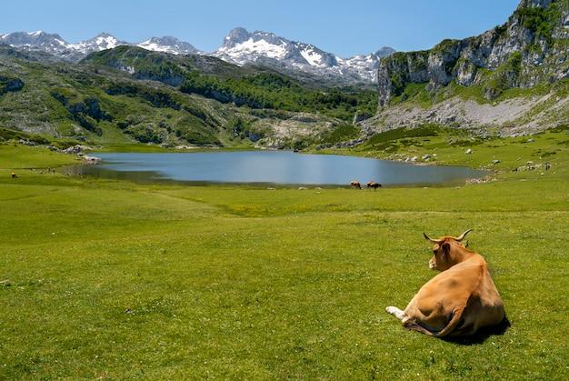 Krowa leżąca na zielonej trawie w jeziorze ercina w asturii