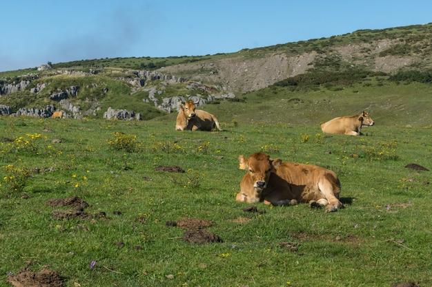 Krowa leżącego w zielonej trawie