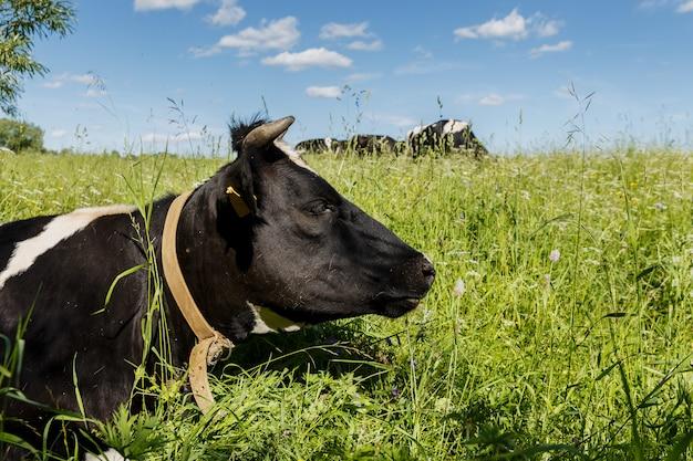 Krowa leży w trawie na pastwisku. głowa krowy z bliska.