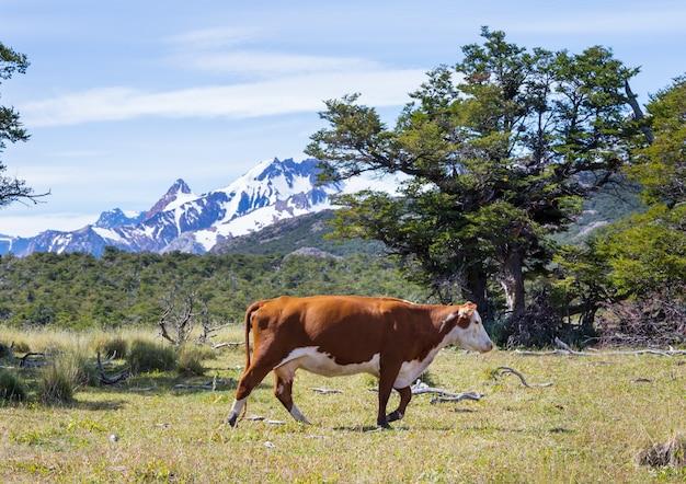 Krowa na łące w górach patagonii, argentyna