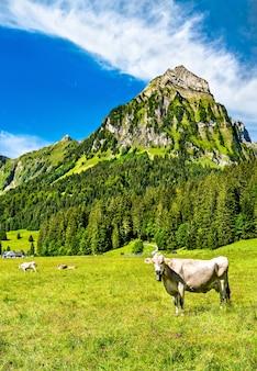 Krowa na oberseetal w alpach szwajcarskich