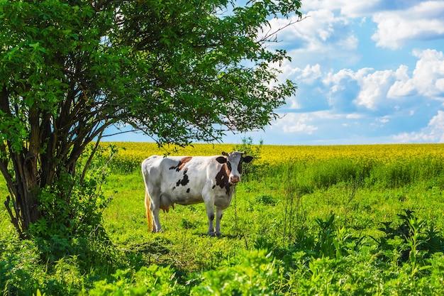 Krowa na pastwisku na polu w pobliżu drzewa przy słonecznej pogodzie