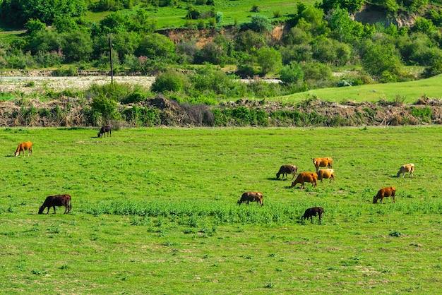 Krowa na zielonej łące