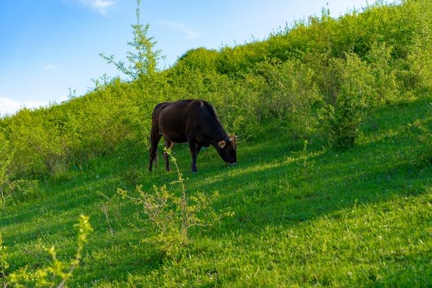 Krowa pasie się i zjada zieloną trawę
