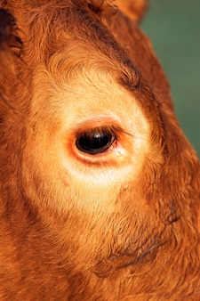 Krowa patrząc na kamery, z bliska na oko