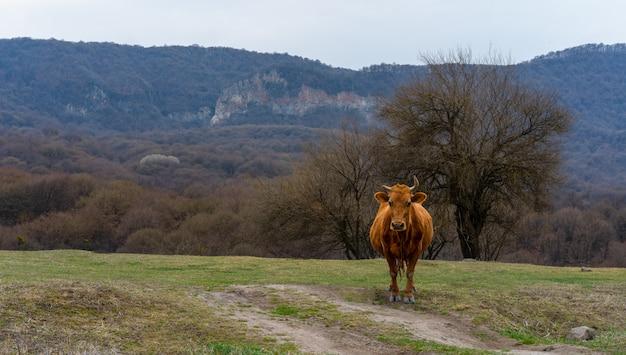 Krowa stoi na trawie w tle gór