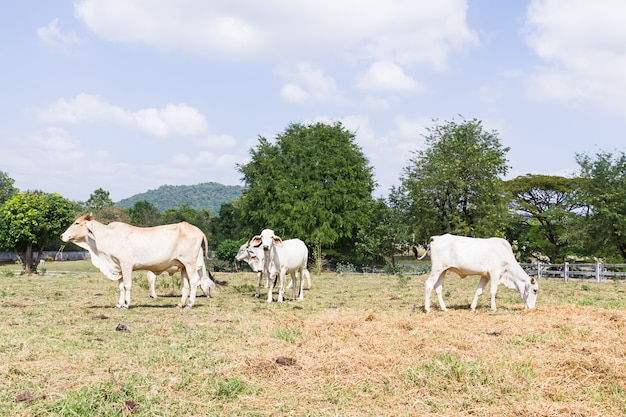 Krowa stoi w gospodarstwie