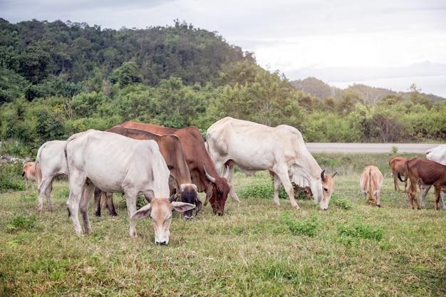 Krowa uprawia ziemię na wzgórzu góra