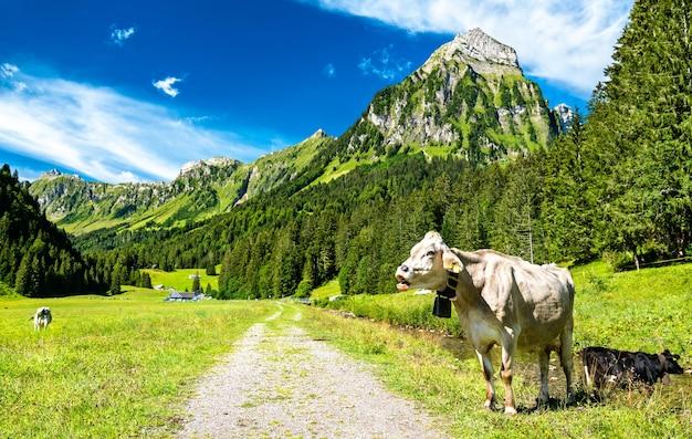 Krowa w alpach szwajcarskich