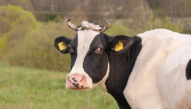 Krowa w czarno-białych kolorach na tle wiosennej łąki.