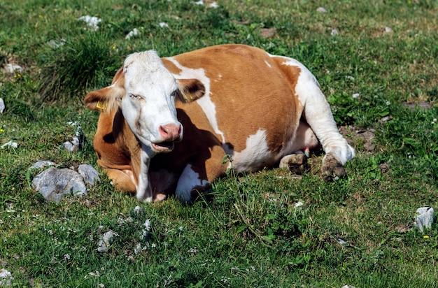 Krowa w górach w pobliżu jeziora garda