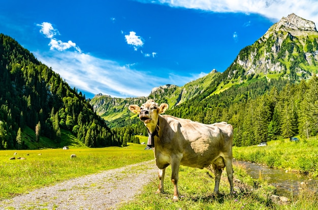 Krowa w oberseetal w alpach szwajcarskich